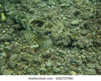 A motionless crocodile fish is perfectly camouflaged on the seafloor in the Red Sea