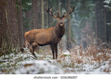 Motionless Great Stag In Winter Forest. Adult Red Deer With Huge Horns Looks At You.Winter Wildlife Landscape With Trophy Noble Deer Stag ( Cervus elaphus, Cervidae ).Gorgeous Deer Buck