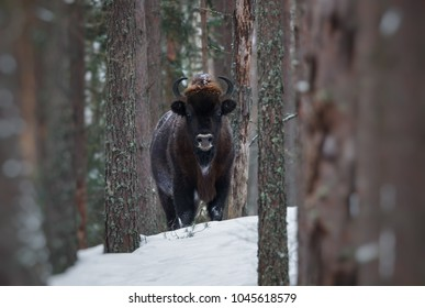 Motionless Great Wild Brown Bison (Wisent) In Winter Forest. European Aurochs ( Bison, Bison Bonasus ) Standing Among The Trees. Big European Wood Bison In The Nature Habitat.Belarus