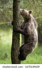 Motivated brown bear, ursus arctos, climbing a tree in summer forest. Concept of determination in animal. Big mammal in upright ascending vertically. Animal clings to a tree from side view.