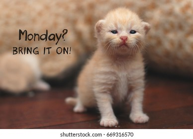 Motivational quote with kitten in smiling expression image - Monday? BRING IT ON!
