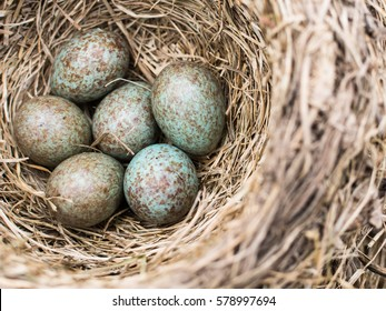 Motley blue and grey cuckoo egg in the nest among reed warbler eggs