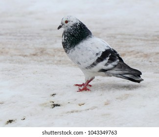 Motley dove in the snow