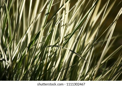 Motley long leaves of a grass a ryegrass at morning lighting create a unique graphic picture.