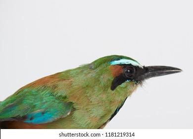 Motmot bird profile isolated on white studio background