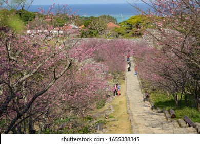 MOTOBU, OKINAWA, JAPAN - FEBRUARY 04, 2020: Cherry blossom at Nakijin Castle, a UNESCO World Heritage Site. Okinawa has the first Sakura of the year in Japan.