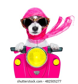 motorcycle diva lady fancy  dog driving a motorbike with sunglasses isolated on white background
