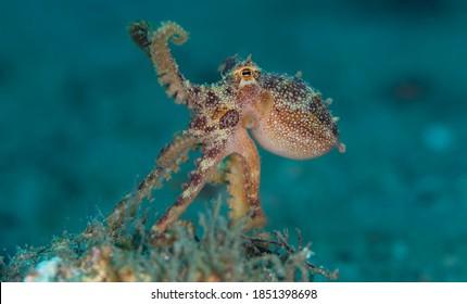 Mototi Octopus Poison Ocellate Underwater Macro Photo
