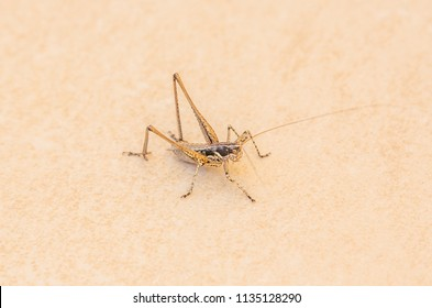 mottled brown grass hopper with a twig, wood like appearance on a beige stone surface