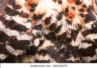 Mottled brown white and black feathers of a Crowned Eagle