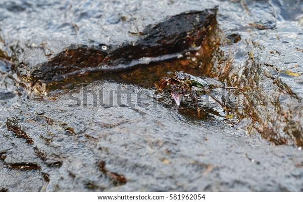 Mottled crab,Mottled crab, Mottled lightfoot crab, Mottled Sally-light-foot,Painted stone crab