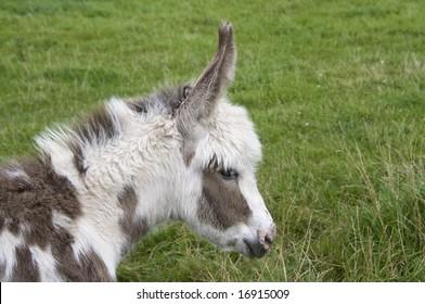 Mottled donkey foal in the meadow