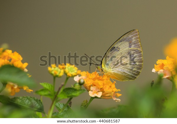 Mottled Emigrant (Catopsilia pyranthe), Beautiful Butterfly in a Garden