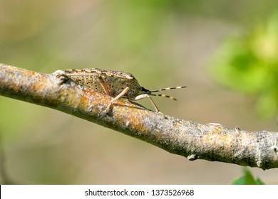 Mottled Shieldbug (Rhaphigaster nebulosa) on a hawthorn in spring