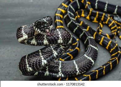 Mottled snake with black-yellow and black-white skin