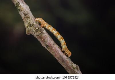 Mottled Umber (Erannis defoliaria) moth caterpillar on a twig