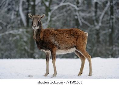 Mouflon female in the winter, (ovis aries)