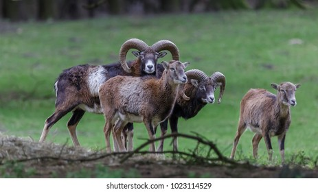 Mouflon at the field