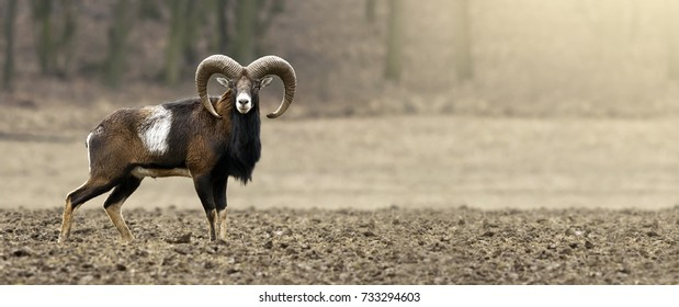 Mouflon male looking on the field - hunting concept