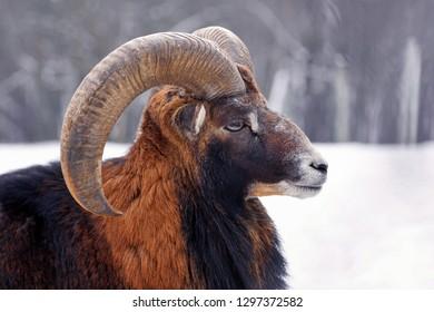Mouflon Male (Ovis musimon). The portrait close up