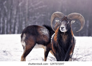 Mouflon Male (Ovis musimon) in the winter forest, horned animal in nature habitat