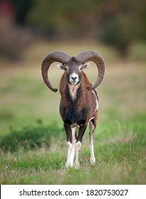 Mouflon sur le pré. Patrouille de mouflon sur le pré. Nature sauvage européenne. Mouflon dans les montagnes.