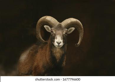 mouflon (Ovis orientalis orientalis) close up portrait. Close-up portrait of mammal with big horn, Czech Republic.