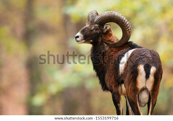 mouflon (Ovis orientalis orientalis) close up portrait