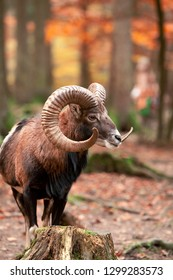 Mouflon, Ovis orientalis, forest horned animal in the nature habitat, portrait of mammal with big horns.