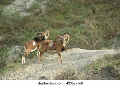 Mouflon (Ovis orientalis orientalis) in natural habitat