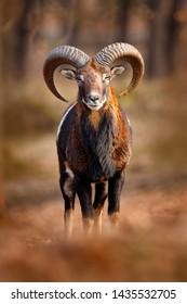 Mouflon, Ovis orientalis, portrait of mammal with big horns, Prague, Czech Republic. Wildlife scene form nature. Animal behavior in forest. Muflon with big horns on the head, in the forest.