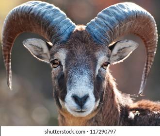 Mouflon portrait
