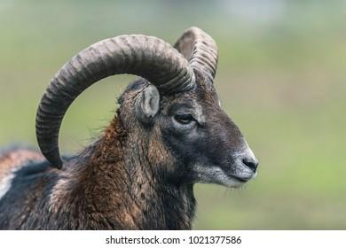 Mouflon ram with big horns. Close-up portrait. Side view.