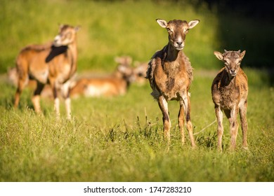 mouflons in the nature park
