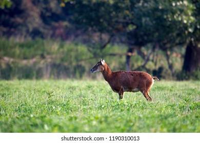 Mouflons in Natuurpark Lelystad, the Netherlands