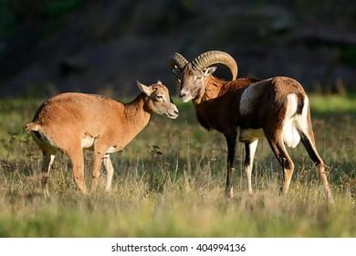 Mouflons on a meadow