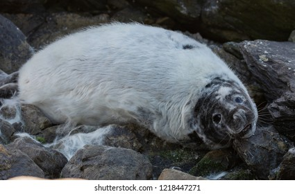 Moulting Grey Seal Pup