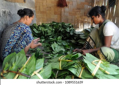 Moulvibazar, Bangladesh - July 26, 2010: Bangladeshi ethnic women shorts battle leaf at Srimongol in Moulvibazar, Bangladesh. The betel leaf is cultivated mostly in South and Southeast Asia.