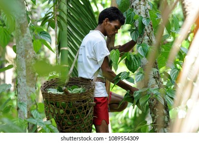 Moulvibazar, Bangladesh - July 26, 2010: A man collects battle leaf from plants at Srimongol in Moulvibazar, Bangladesh. The betel leaf is cultivated mostly in South and Southeast Asia.