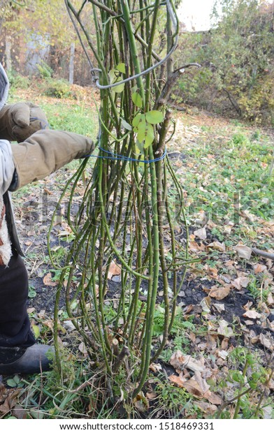 Mound Tie Rose Bush Pruning Climbing Stock Photo Edit Now 1518469331