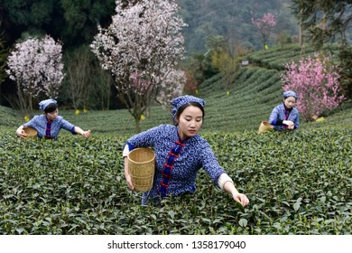 Mount emei,sichuan/china-March 10,2018:Young women pick spring tea in the tea garden of mount emei.