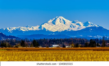 Mount Baker, a dormant volcano in Washington State viewed from the Blueberry Fields of Glen Valley near Abbotsford British Columbia, Canada under clear blue sky on a nice winter day