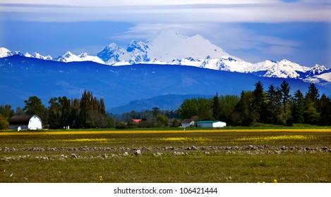 Mount Baker Skagit Valley Farm Yellow Flowers Snow Mountain Washington State Pacific Northwest