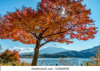 Mount Fuji with beautiful maple tree at momiji tunnel, Kawaguchiko, Japan