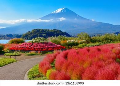 Mount Fuji and Lake Kawaguchi Oishi Park Kochia, Yamanashi Prefecture, Japan