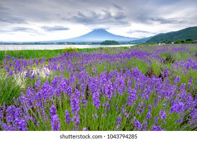 Mount Fuji with Lavender Field in Summer Cloudy Sky at Oishi Park, Kawaguchiko Lake