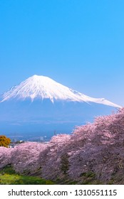 Mount Fuji ( Mt. Fuji ) with full bloom beautiful pink cherry blossoms flowers ( sakura ) in springtime sunny day with blue sky natural background