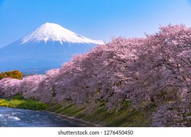 Mount Fuji ( Mt. Fuji ) with Sakura cherry blossom at the river in the morning, Shizuoka, Japan.