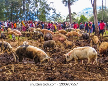 Mount Hagen / Papua New Guinea - Nov 2013: A lot of pigs on the mud field in the village on Mt. Giluwe.