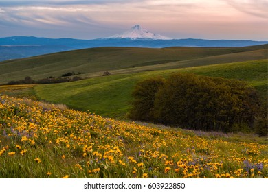 Mount Hood catching sunset light and wild flowers filed in Columbia hills state park, Washington.